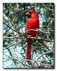 Cardinal Digital Photography © Outdoor Eyes