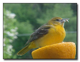 Baltimore Oriole Photograph © Dave Pelletier
