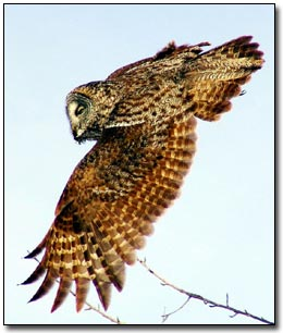Great Gray Owl© Laurie L. Volk