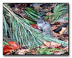 Junco Birds Digital Photography © Outdoor Eyes