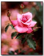 Rose Digital Photography © Outdoor Eyes