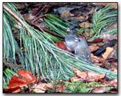 Dark-Eyed Junco Digital Photography © Outdoor Eyes